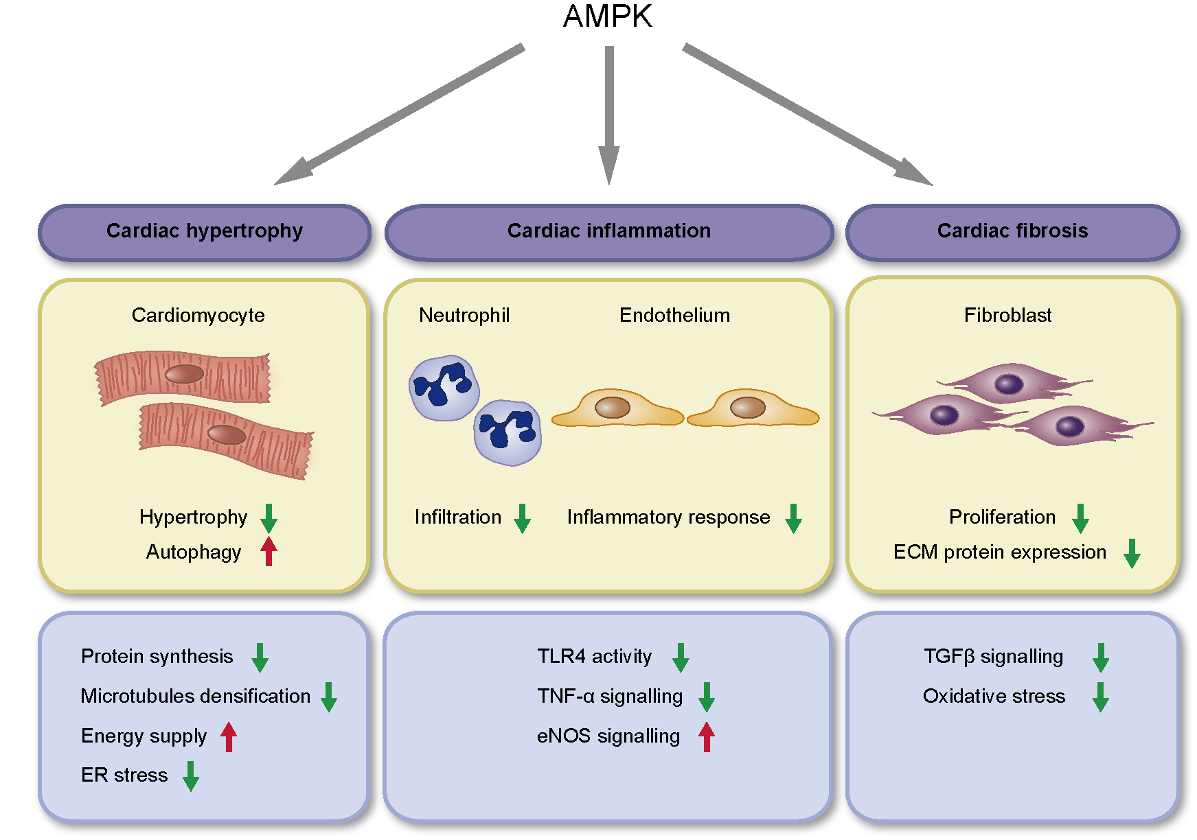 AMPK and cardiac remodelling