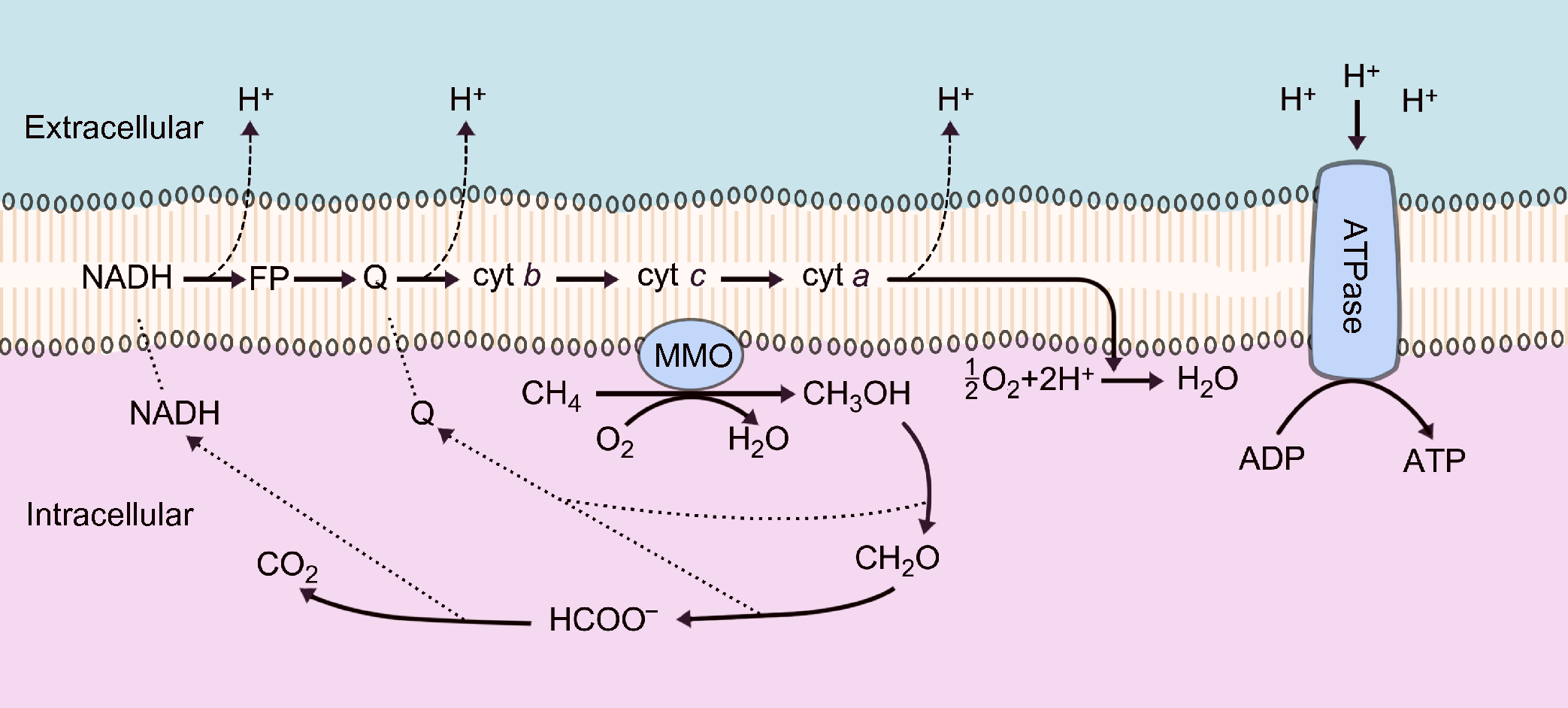 Methane biotransformation in the ocean and its effects on climate